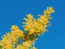 Κίτρινο λουλούδι mimosa με το φύλλο στο δέντρο στο μπλε ουρανό, ημέρα γυναικών συμβόλων Στοκ Φωτογραφία