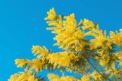 Κίτρινο λουλούδι mimosa με το φύλλο στο δέντρο στο μπλε ουρανό, ημέρα γυναικών συμβόλων Στοκ Εικόνα
