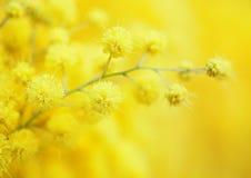 Κίτρινο λουλούδι mimosa Στοκ φωτογραφία με δικαίωμα ελεύθερης χρήσης