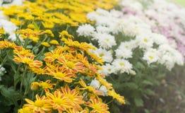 Κίτρινο λουλούδι mum στον κήπο στοκ εικόνες