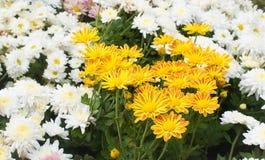 Κίτρινο λουλούδι mum στον κήπο στοκ εικόνες με δικαίωμα ελεύθερης χρήσης