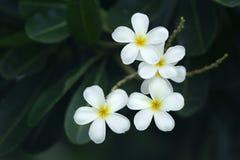 Κίτρινο λουλούδι plumeria Στοκ Εικόνα