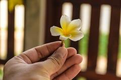 Κίτρινο λουλούδι plumeria Στοκ Φωτογραφία