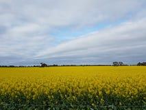 Κίτρινο πεδίο λουλουδιών Στοκ φωτογραφία με δικαίωμα ελεύθερης χρήσης