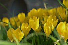 Κίτρινο πεδίο τουλιπών Στοκ Φωτογραφίες
