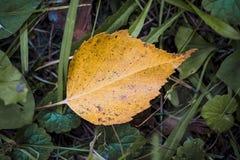 Κίτρινο πεσμένο φύλλο στην πράσινη χλόη Στοκ φωτογραφίες με δικαίωμα ελεύθερης χρήσης