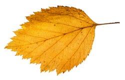 κίτρινο πεσμένο φύλλο του δέντρου κραταίγου που απομονώνεται Στοκ εικόνα με δικαίωμα ελεύθερης χρήσης