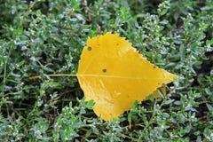 Κίτρινο πεσμένο φύλλο που βάζει στην υγρή πράσινη χλόη Στοκ Εικόνα