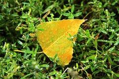Κίτρινο πεσμένο φύλλο που βάζει στην υγρή πράσινη χλόη Στοκ Εικόνες