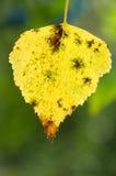 Κίτρινο πεσμένο φύλλο σημύδων Στοκ Εικόνες