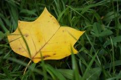 Κίτρινο πεσμένο φύλλο σφενδάμου στη χλόη Στοκ Εικόνα