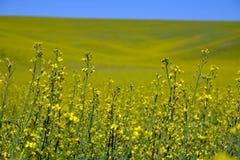 Κίτρινο πεδίο λουλουδιών Στοκ εικόνα με δικαίωμα ελεύθερης χρήσης