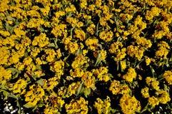 Κίτρινο πεδίο λουλουδιών Στοκ Εικόνες