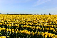 Κίτρινο πεδίο τουλιπών Στοκ φωτογραφίες με δικαίωμα ελεύθερης χρήσης