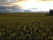 Κίτρινο πεδίο Στοκ φωτογραφία με δικαίωμα ελεύθερης χρήσης