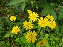 Κίτρινο πικρό λουλούδι στοκ φωτογραφία με δικαίωμα ελεύθερης χρήσης