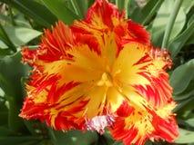 Κίτρινο πορτοκαλής-λουλούδι στο θερινό κήπο στοκ φωτογραφίες