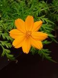 Κίτρινο πορτοκαλί λουλούδι Στοκ Εικόνες