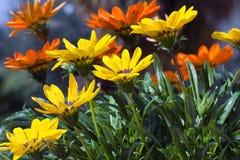 Κίτρινο πορτοκαλί λιβάδι Gazanias στοκ εικόνες