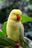 Κίτρινο πορτρέτο Parakeet Στοκ Φωτογραφίες