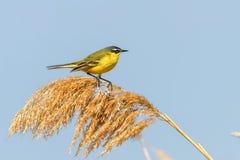 Κίτρινο πουλί, δυτικό κίτρινο flava Wagtail Motacilla στοκ φωτογραφία