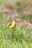 Κίτρινο πουλί στη χλόη, δυτικό κίτρινο flava Wagtail Motacilla στοκ εικόνες