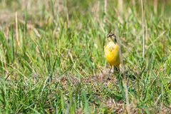 Κίτρινο πουλί στη χλόη, δυτικό κίτρινο flava Wagtail Motacilla στοκ φωτογραφία με δικαίωμα ελεύθερης χρήσης