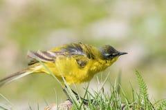 Κίτρινο πουλί στη χλόη, δυτικό κίτρινο flava Wagtail Motacilla στοκ εικόνες με δικαίωμα ελεύθερης χρήσης