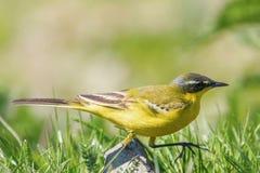Κίτρινο πουλί στη χλόη, δυτικό κίτρινο flava Wagtail Motacilla στοκ εικόνα με δικαίωμα ελεύθερης χρήσης
