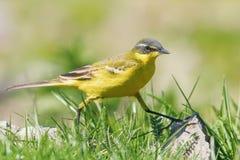 Κίτρινο πουλί στη χλόη, δυτικό κίτρινο flava Wagtail Motacilla στοκ εικόνα