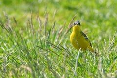 Κίτρινο πουλί στη χλόη, δυτικό κίτρινο flava Wagtail Motacilla στοκ φωτογραφίες με δικαίωμα ελεύθερης χρήσης