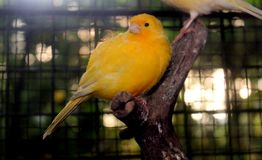 Κίτρινο πουλί στο κλουβί Στοκ φωτογραφία με δικαίωμα ελεύθερης χρήσης