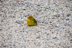 Κίτρινο πουλί - καναρίνι Στοκ Εικόνες