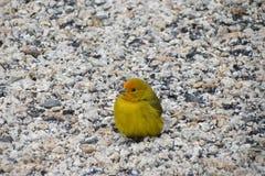 Κίτρινο πουλί - καναρίνι Στοκ Φωτογραφία