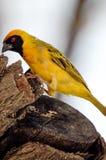 Κίτρινο πουλί στο δέντρο στοκ φωτογραφία με δικαίωμα ελεύθερης χρήσης