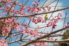 Κίτρινο πουλί στο ρόδινο λουλούδι Στοκ εικόνα με δικαίωμα ελεύθερης χρήσης