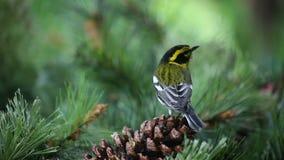 Κίτρινο πουλί στο pinecone απόθεμα βίντεο