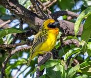 Κίτρινο πουλί, υφαντής Speke Στοκ Εικόνες