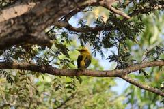 Κίτρινο πουλί Στοκ φωτογραφίες με δικαίωμα ελεύθερης χρήσης