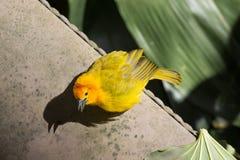 Κίτρινο πουλί Στοκ φωτογραφία με δικαίωμα ελεύθερης χρήσης