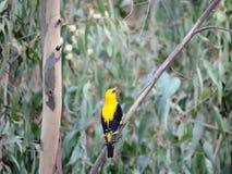 Κίτρινο πουλί Στοκ Εικόνες