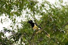 Κίτρινο πουλί Στοκ Εικόνα