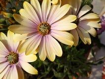 Κίτρινο ρόδινο λουλούδι Στοκ φωτογραφία με δικαίωμα ελεύθερης χρήσης