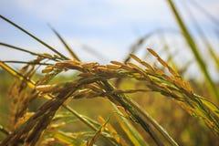 Κίτρινο ρύζι ορυζώνα στοκ φωτογραφία