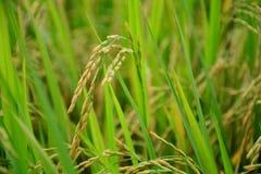 Κίτρινο ρύζι Στοκ Φωτογραφία