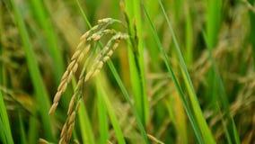 Κίτρινο ρύζι Στοκ εικόνα με δικαίωμα ελεύθερης χρήσης