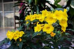 κίτρινο σάλπιγγα-λουλούδι Στοκ εικόνα με δικαίωμα ελεύθερης χρήσης