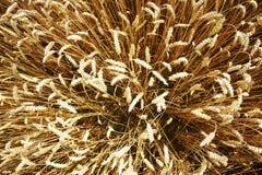 Κίτρινο σιτάρι έτοιμο για την ανάπτυξη συγκομιδών σε έναν αγροτικό τομέα Στοκ φωτογραφία με δικαίωμα ελεύθερης χρήσης
