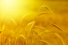 Κίτρινο σιτάρι Στοκ εικόνα με δικαίωμα ελεύθερης χρήσης