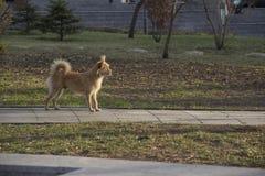 κίτρινο σκυλί στο πάρκο στοκ εικόνα με δικαίωμα ελεύθερης χρήσης